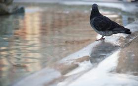 Картинка птица, улица, голубь