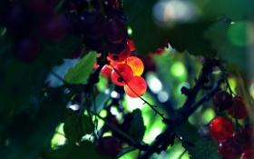 Картинка листва, красная смородина, ягоды