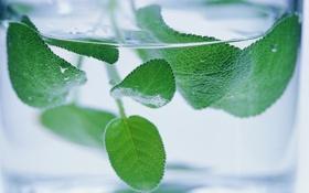 Обои мята, листья, вода, стакан