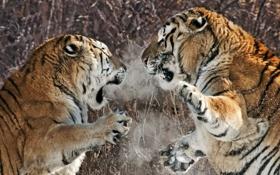 Обои тигры, схватка, агрессия