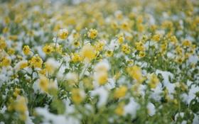 Картинка холод, поле, снег, цветы, желтые