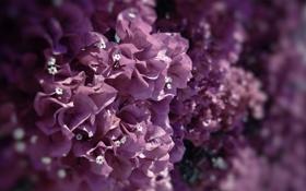 Картинка фиолетовый, бугенвиллея, сиреневый, лиловый, цвет, макро, цветы