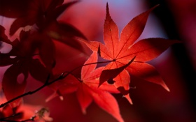 Обои осень, листья, свет, красные