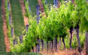 Обои природа, фото, холмы, обои, растения, виноградники, плантация
