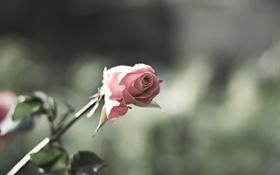 Обои цветок, листья, макро, природа, розовая, роза, цвет