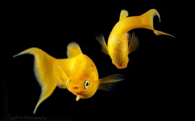 Обои рыбки, рыбы, темный фон, аквариум, пара