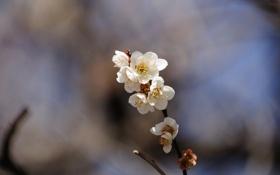 Картинка цветы, природа, фон, обои, растения, ветка, весна
