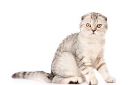 Обои кот, взгляд, фон, животное, вислоухий, окрас