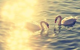 Картинка вода, озеро, блики, Пруд, пара, лебеди