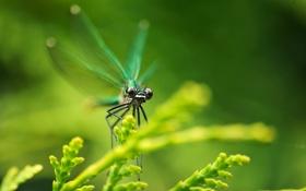 Картинка стрекоза, ветки, растение, крылья, глаза, макро