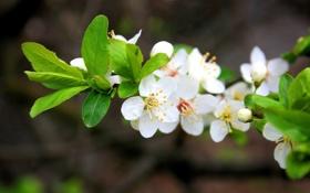 Картинка Макро, Цветы, Природа, Весна, Вишня