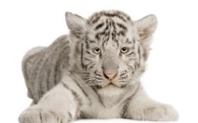 Обои малыш, белый, тигрёнок