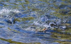 Обои брызги, рыба, ручей, радужная форель, вода, волны