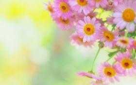 Обои фон, размытость, розовые, маргаритки
