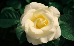 Обои цветок, листья, макро, природа, роза, растения, лепестки