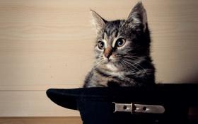 Обои усы, котенок, шляпа