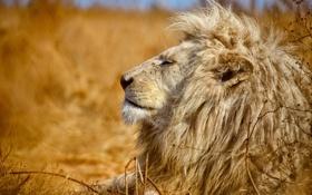 Картинка хищник, лев, шерсть