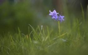Картинка цветок, трава, цветы, голубой, размытость