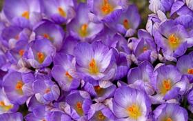 Обои фиолетовый, весна, макро, крокусы