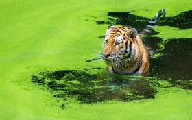 Картинка кошка, вода, тигр, охота
