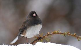Картинка зима, снег, птица, ветка, хвоя
