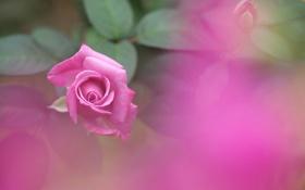 Картинка листья, роза, лепестки, бутон