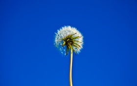 Картинка цветок, небо, одуванчик, стебель