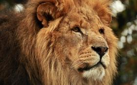 Картинка кошка, взгляд, морда, лев, грива
