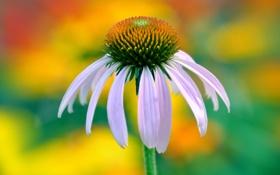 Обои цветок, лепестки, стебель, эхинацея