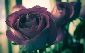 Обои цветы, розы, фокус, темные