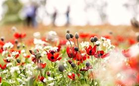Обои цветы, природа, маки