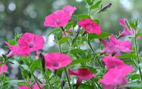 Картинка листья, сад, клумба, природа, лепестки, петуния