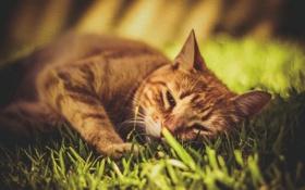Обои кот, рыжий, котяра, трава, кошак