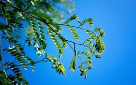 Обои листья, небо, ветка, акация, природа