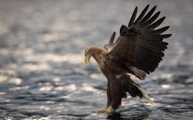 Картинка вода, птица, крылья, хищник, Орлан-белохвост