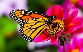 Обои цветок, макро, природа, бабочка, flower, nature, butterfly