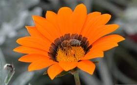 Картинка цветок, пчела, насекомое, лепестки