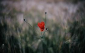 Обои цветы, мак, лепестки, красные