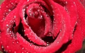 Обои роза, Цветы, красота
