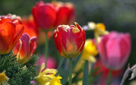Обои яркие, тюльпаны, много, разные