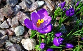 Обои цветы, камни, крокусы, бутоны