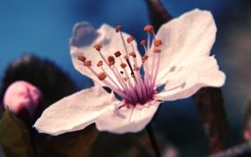 Обои цветок, макро, вишня, весна, лепестки