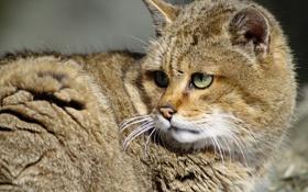 Картинка кот, усы, хищник, cat, predator, moustaches