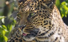 Картинка язык, кошка, морда, леопард, ©Tambako The Jaguar