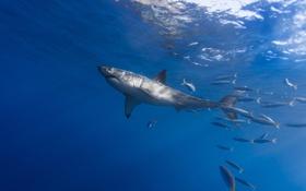 Обои море, вода, рыбы, акула, сопровождение, белая акула, ставрида