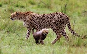 Обои nature, animal, Cheetah, Kenya, Gepard, Masai Mara National Reserve