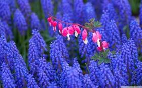 Обои Цветы, Цвет, Поле, Синий