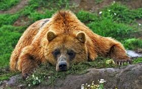 Картинка взгляд, морда, отдых, медведь, мишка