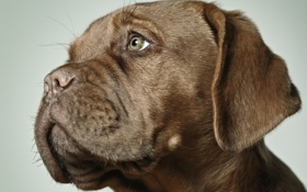 Обои puppy, brown, dog, gaze, stare, boxer