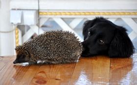 Обои иголки, стол, собака, мордочка, ёжик, пёс